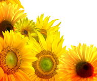 Sunflowers background Stock Photos