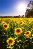 Sunflowers backlight Stock Image