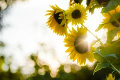 Sunflowers in the backlight Stock Photos