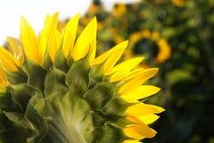 Sunflowers backside Stock Photography