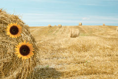 Sunflowers on a bale of straw Stock Image