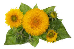 Sunflowers banner concept Stock Photos