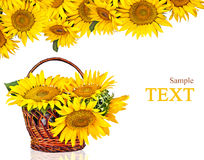Sunflowers in basket  Stock Image