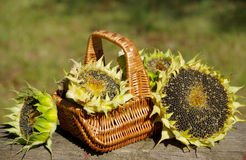 Sunflowers in a basket. On a wooden board stock images