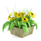 Sunflowers in a basket  Royalty Free Stock Image
