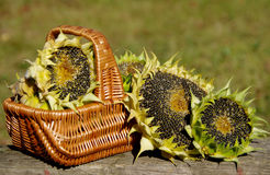 Sunflowers in a basket. On a wooden board stock photos