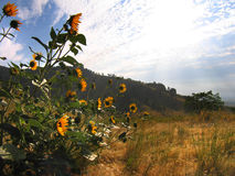Sunflowers at Bear Butte. Wild sunflowers at Bear Butte State Park in Sturgis, South Dakota stock photo