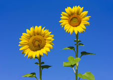 Sunflowers. Beautiful sunflowers with clear blue sky royalty free stock photos