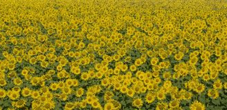 Sunflowers. Beautiful sunflowers in the field Royalty Free Stock Photography