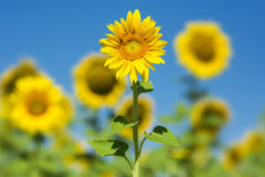 Sunflowers. Beautiful sunflowers on field with clear blue sky and blurry background Royalty Free Stock Image