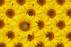Sunflowers. Beautiful sunflowers and one honey bee collecting honey on the biggest one Royalty Free Stock Images