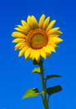 Sunflowers. Beautiful sunflower and bee with clear blue sky background stock photos