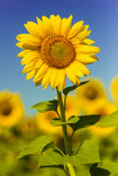 Sunflowers. Beautiful sunflower on field with blurry background royalty free stock photos