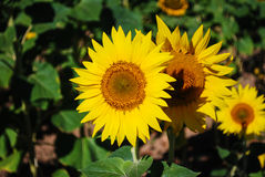 Sunflowers. Beautiful sunflower in the French countryside Royalty Free Stock Photos