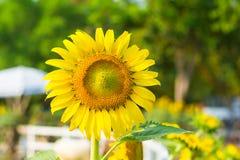 Sunflowers beautiful. Beautiful sunflower in wide garden Royalty Free Stock Photos