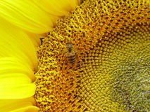 Sunflowers Bee. Bee are collecting nectar in sunflowers Stock Photography