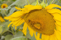 Sunflowers and bee Stock Image