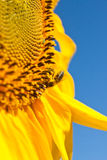 Sunflowers and bee Stock Photos