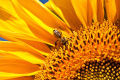 Sunflowers and bee Royalty Free Stock Image