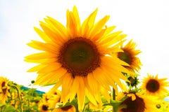Sunflowers and bee Stock Photo