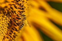 Sunflowers and bee Stock Images