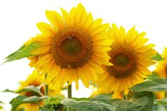 Sunflowers with a bee Stock Photography