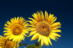 Sunflowers and bees Royalty Free Stock Image