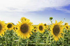 Sunflowers with bees Royalty Free Stock Images