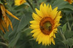 Sunflowers with bees in my organic garden. stock images