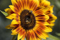 Sunflowers. With bees in spring time. Sunflower is yellow and orange with a green background royalty free stock images
