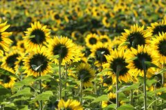 Sunflowers from behind Royalty Free Stock Photography