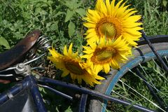 Sunflowers on bicycle luggage rack Stock Photo