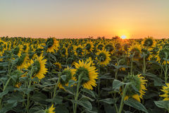 Sunflowers. Big field of many sunflowers on sunrise watching the rising sun on the horizon colored in orange in summer Stock Photo