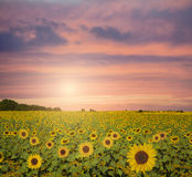 Sunflowers. Big sunflowers field during sunset stock images