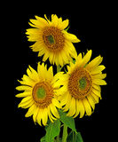 Sunflowers on a black background. A bouquet of blooming sunflowers closeup on black background Stock Image