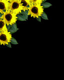 Sunflowers on black background Stock Photos