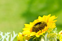 Sunflowers bloom. Stock Photography