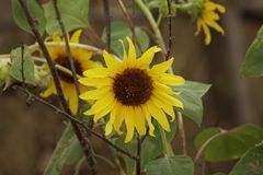 Sunflowers bloom at the autumn time Royalty Free Stock Images