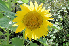 Sunflowers growing background Stock Images