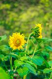 Sunflowers bloom beautiful yellow flowers in the garden. Royalty Free Stock Photo