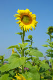 Sunflowers bloom. Blooming sunflowers in the blue sky background Royalty Free Stock Image
