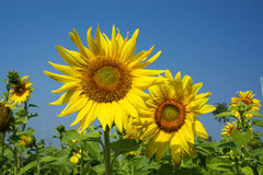 Sunflowers bloom. Blooming sunflowers in the blue sky background Royalty Free Stock Images