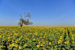 Sunflowers bloom in fields. Royalty Free Stock Photos