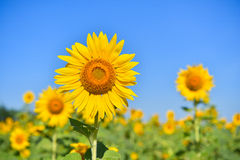 Sunflowers bloom in garden on the autumn. Royalty Free Stock Photography