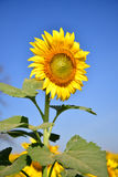 Sunflowers bloom in garden on the autumn. Royalty Free Stock Photos