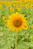 Sunflowers bloom in garden on the autumn. Royalty Free Stock Photo