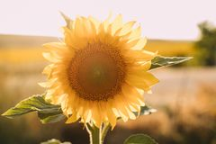 Sunflowers in bloom natural background. Close up of sunflower in sunlight.. Sunflowers in bloom natural background. Close up of sunflower in sunlight vector illustration