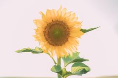 Sunflowers in bloom natural background. Close up of sunflower in sunlight.. Sunflowers in bloom natural background. Close up of sunflower in sunlight stock illustration