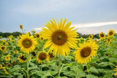 Sunflowers bloom in the park Stock Image