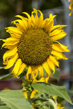 Sunflowers. Blooming against a bright sky Royalty Free Stock Photography